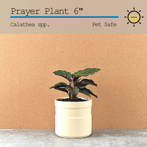 Prayer Plant (Calathea) 6