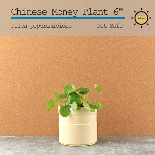 Chinese Money Plant (Pilea) 6