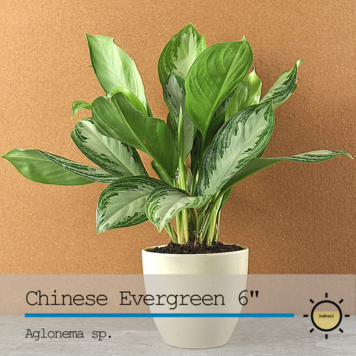Chinese Evergreen (Aglonema) 6