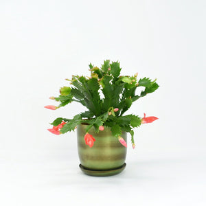 Christmas Cactus & Iron Pot/Saucer