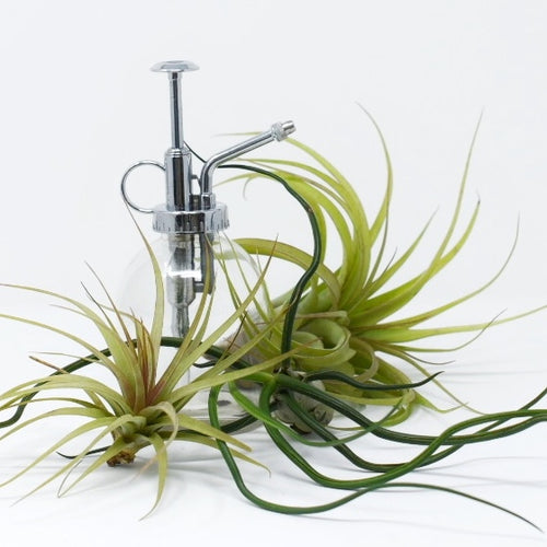 Air Plant Assortment & Mighty Mister