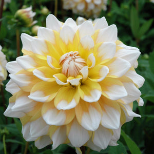 "Dahlia, ""Seattle"" (Gallon pot)"