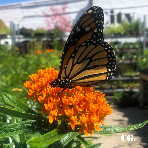 Monarch Nursery Plants: Milkweed & Butterfly Weed Pre-order