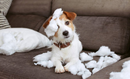 Jack Russel Terrier chewing on a couch