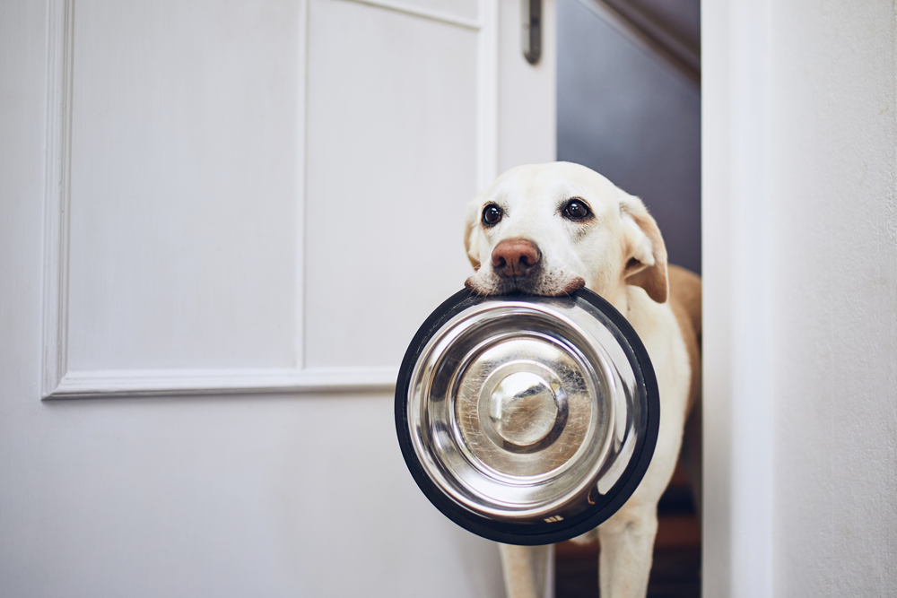 White labrador retriever carrying empty food bowl in its mouth