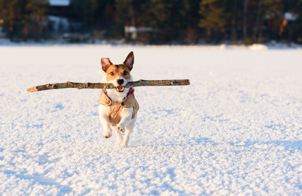 Dog running with big stick in mouth on snowy ground