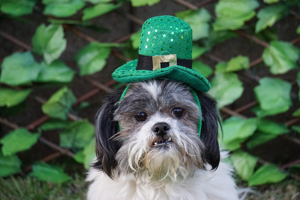 Black and White Shih Tzu Ready For St. Patrick's Day