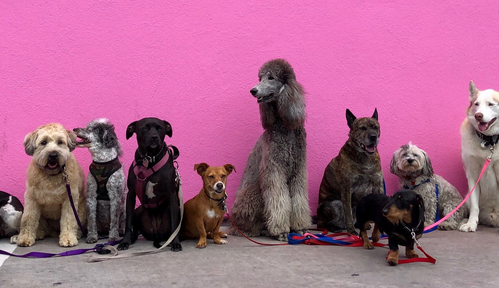 many breeds of dogs against pink wall