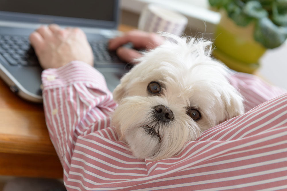 Man working on computer and holding his little white dog