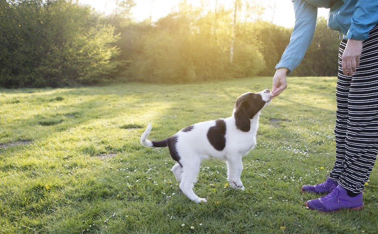 Training Your New Puppy:<br>The Importance of Forming Good Habits in the First 16 Weeks