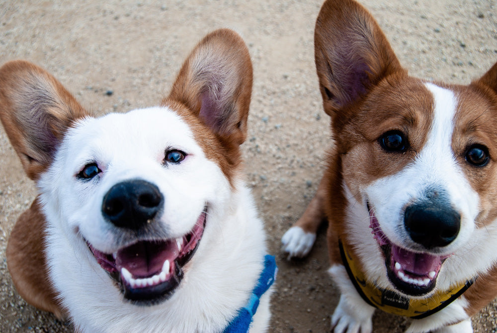 Two happy dogs smiling