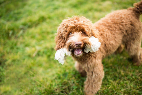 Happy Laberdoodle holding a rope toy