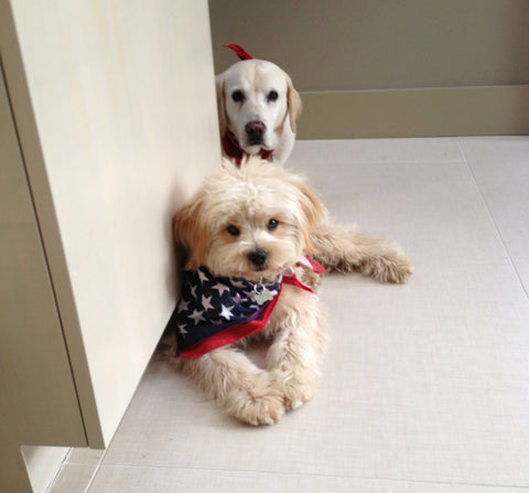 two dogs near wall bandana