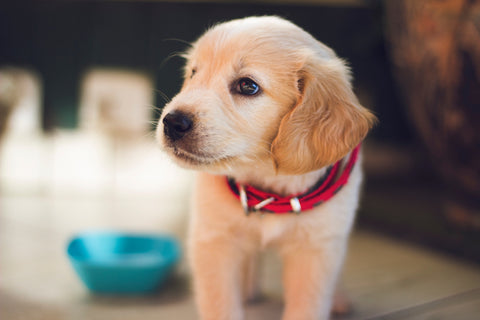 blond labrador retriever puppy with dog bowl in the background