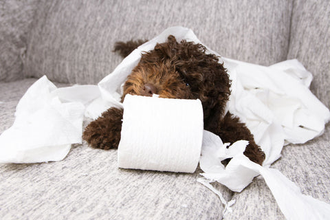 Cute brown dog sitting on couch chewing on roll of toilet paper