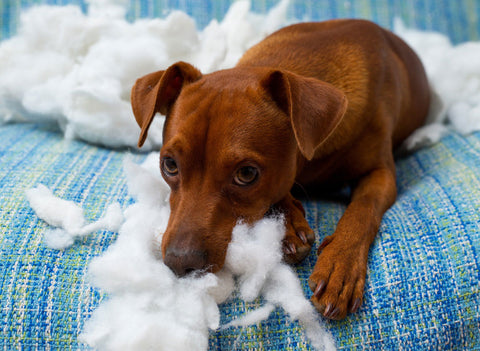 Dog biting and chewing pillow stuffing