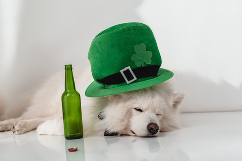 White dog wearing St. Patrick's Day hat passed out near green beer bottle