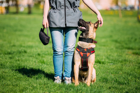 Belgian Malinois Dog sitting outdoors In green grass near owner