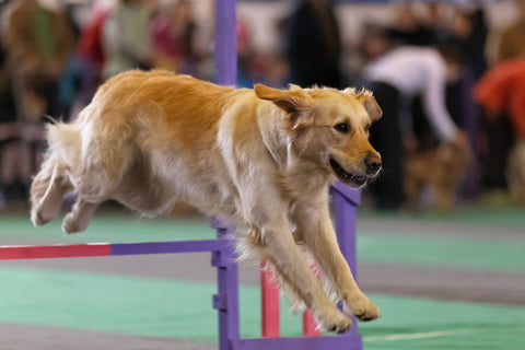 Golden retriever leaping over a fence at dog agility course