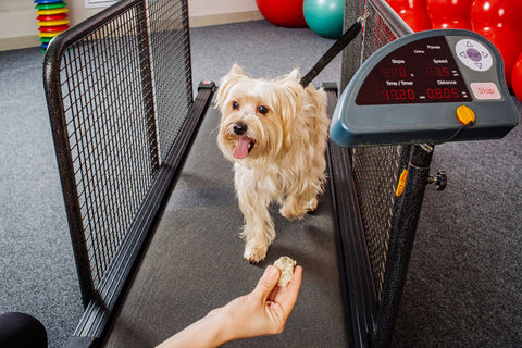 Dog walking on a treadmill with trainer offering a treat