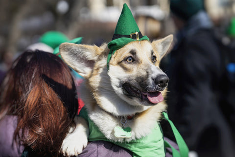 Woman carrying sweet, pretty dog in green Irish hat at St.Patrick s Day parade