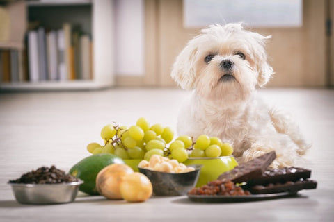 dog sitting in front of toxic foods