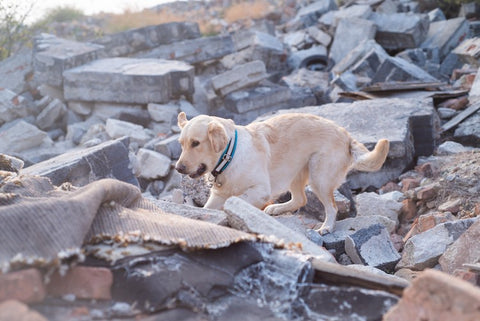 dog looking for people in disaster area