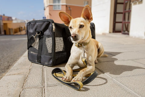dog waiting to leave with leash and pack