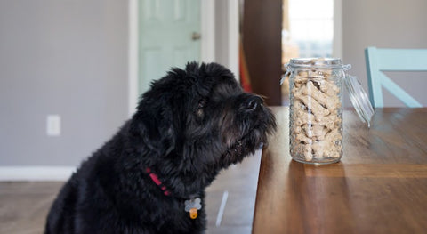 dog starting a treat jar on counter