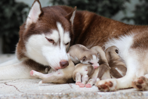Husky cleaning her puppies