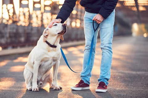 Man holding leash lightly and petting labrador retriever