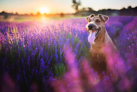 dog-panting-in-lavender-field-during-sunset