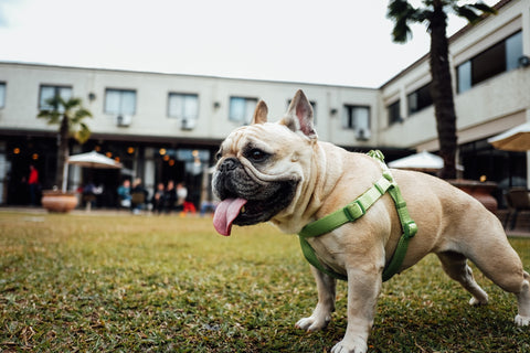 bulldog with tongue out on lawn