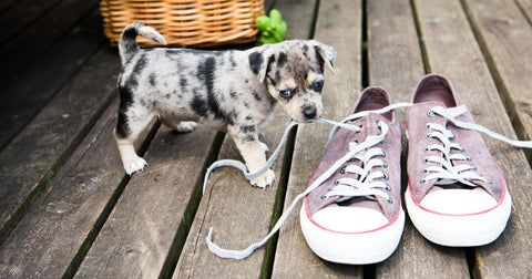 puppy chewing on shoes