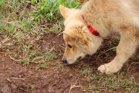 Shepherd sniffing grass and dirt