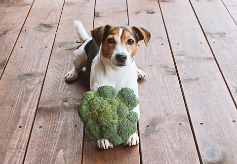 small dog holding crown of broccoli in paws