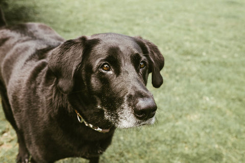 older black lab