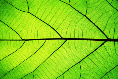 Light shining through leaf - chlorophyll