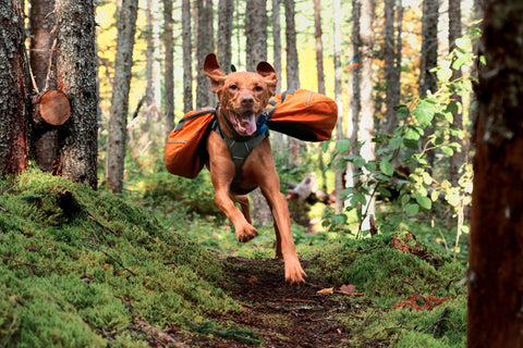 Happy vizsla in orange backpack running in the woods