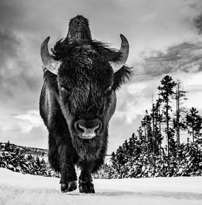 American Idol by DAvid Yarrow, black and white photo of bison in snow