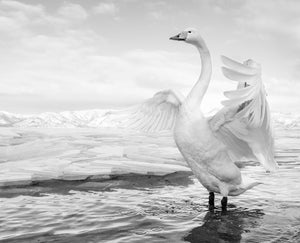 swan lake by david yarrow black and white photo of swan in lake