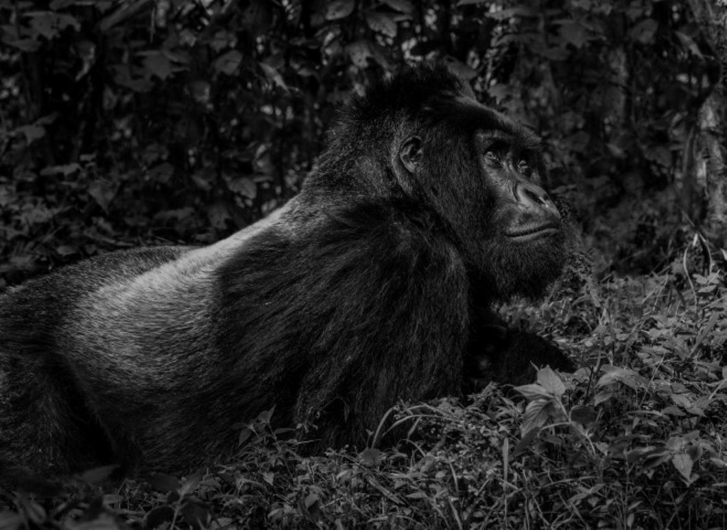 The silverback by David Yarrow black and white photo of gorilla