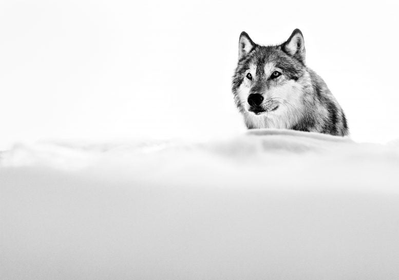 the focused wolf by david yarrow black and white photo of a wolf in the snow