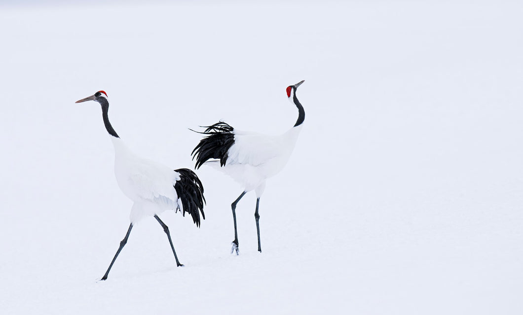 hokaido by david yarrow black and white photo of two birds in snow