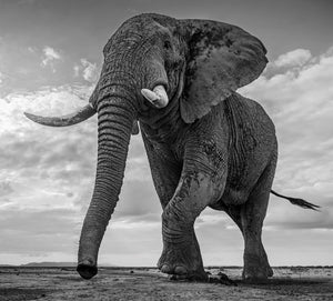 Giants kingdom by David YArrom, black and white photo of elephant