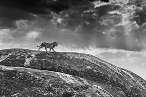 rock star by David Yarrow black and white photo of lion on mountain