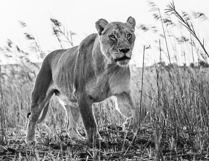 The green grass of home by david yarrow black and white photo of lion in grass