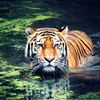 Panthera: Tigers Forever Program