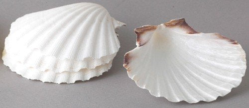 Natural Scallop Baking Shells 4""