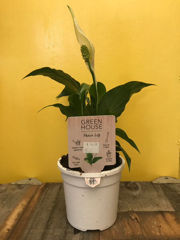Sweet Chico Peace Lily